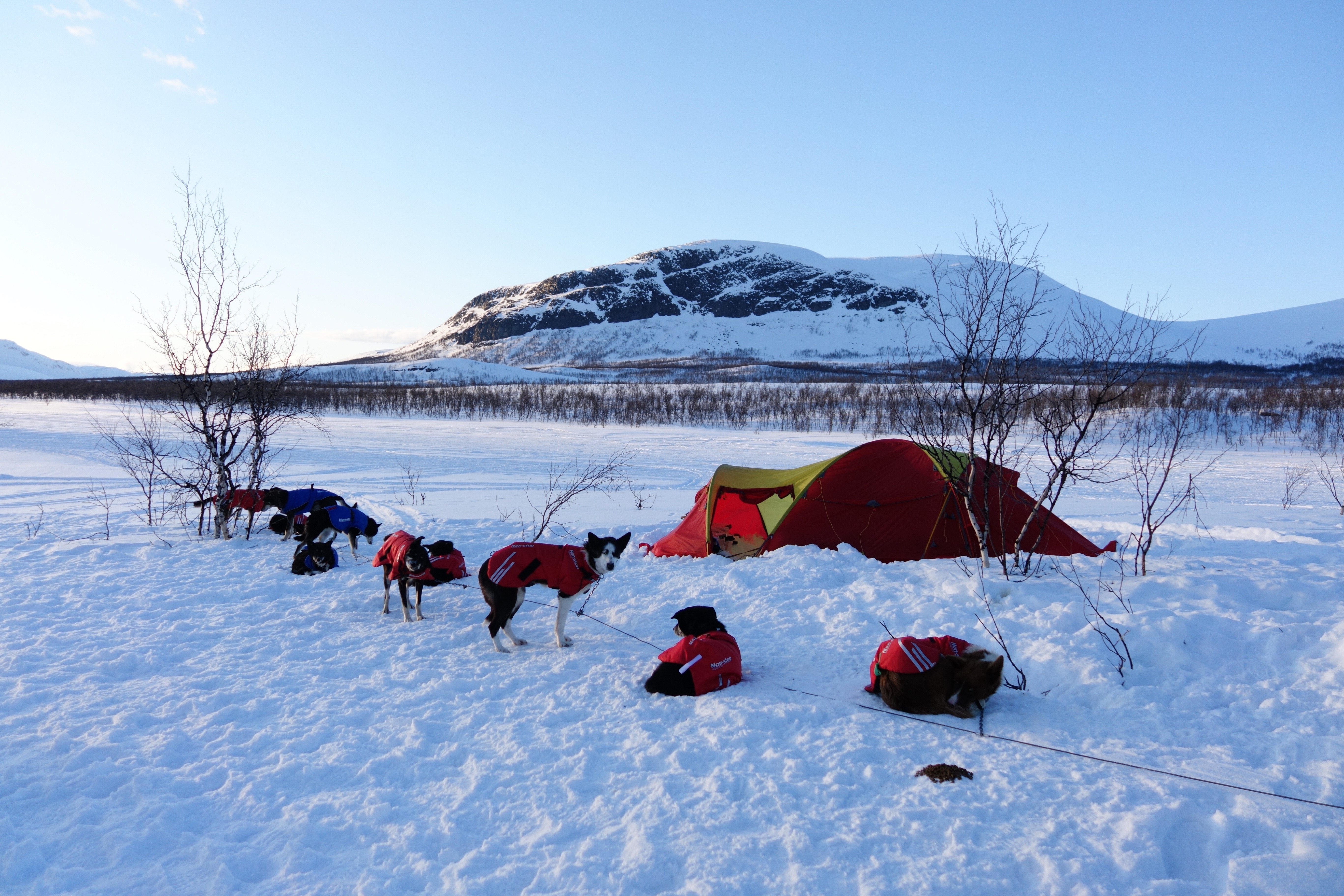 Rest is important for both dogs and the musher