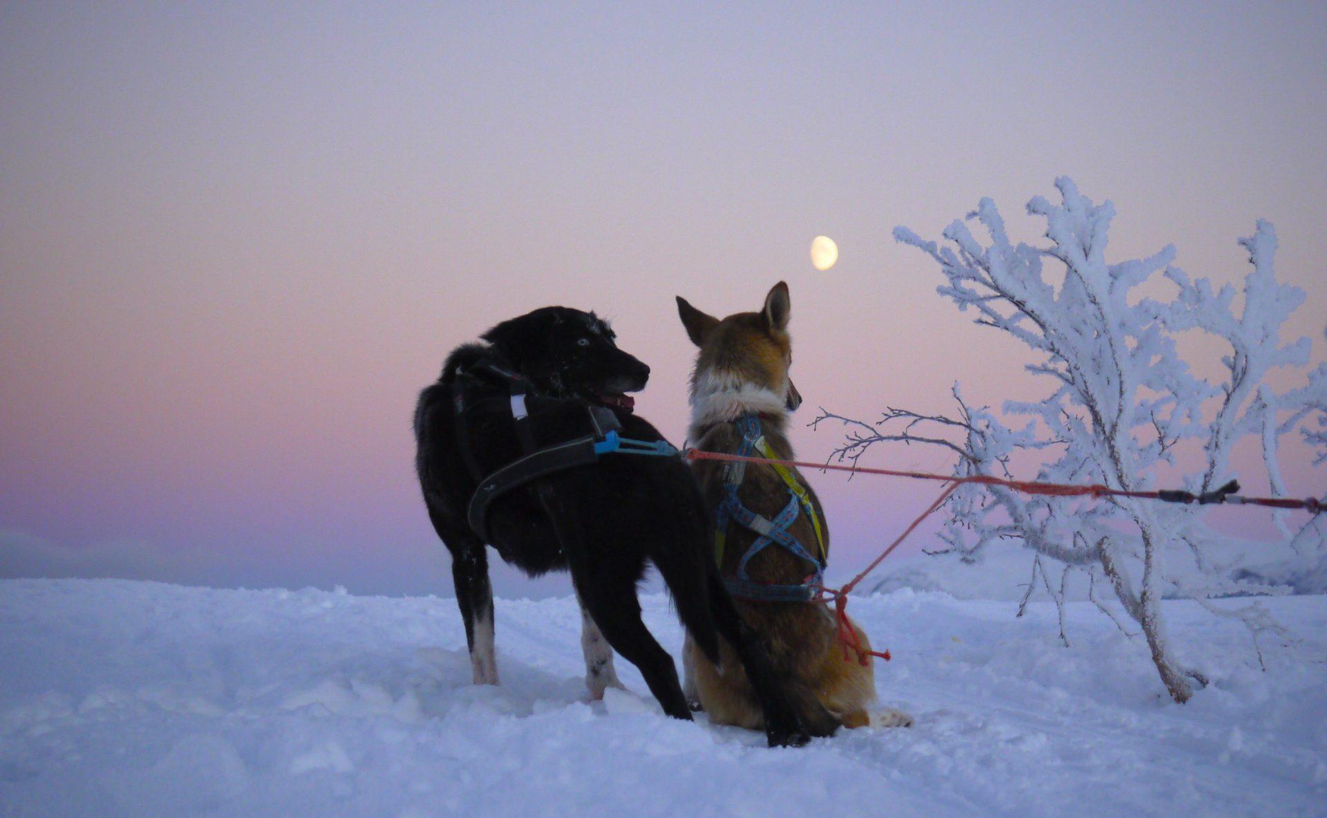 What is an Alaskan Husky?