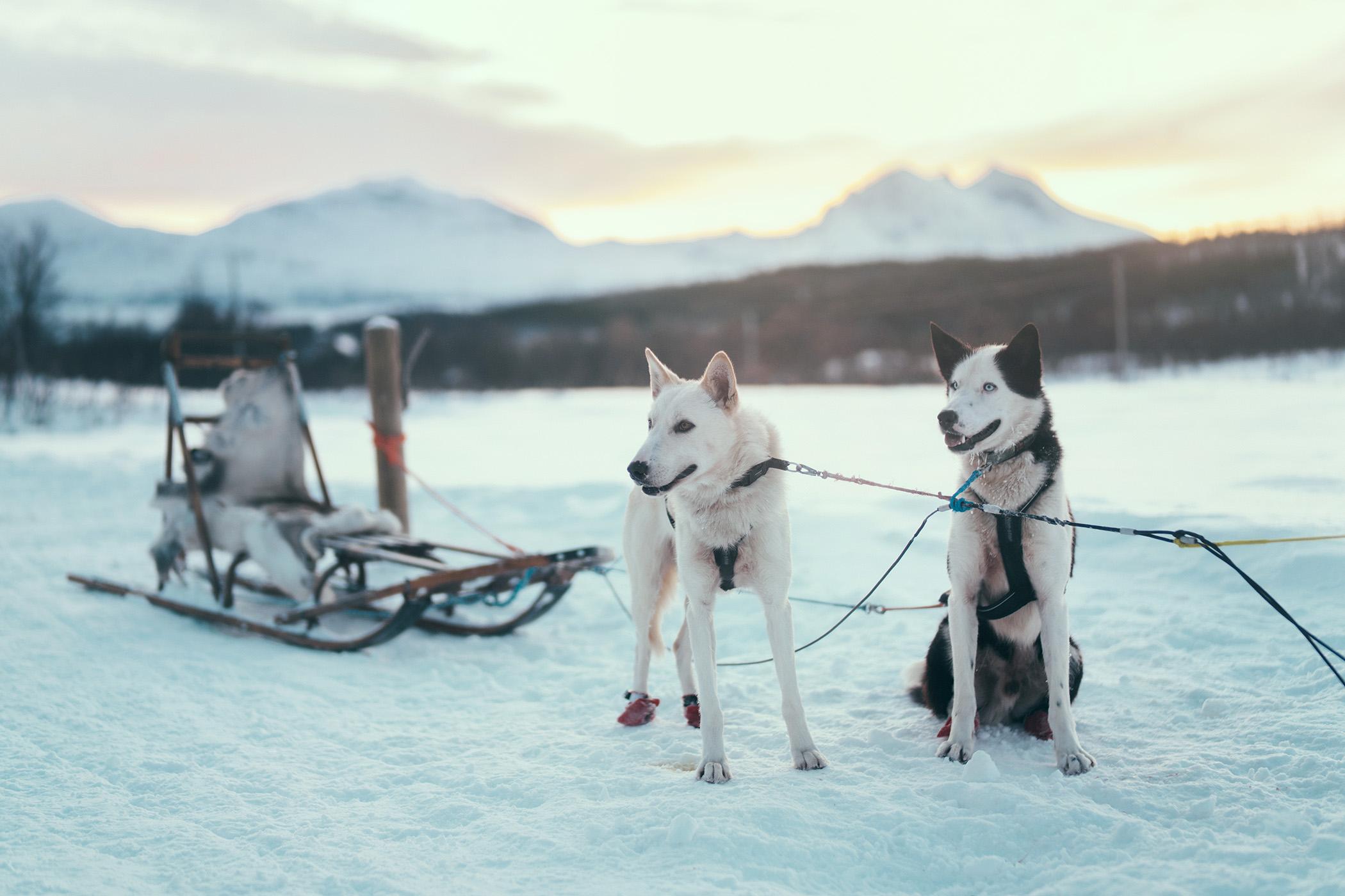 Sledding dogs