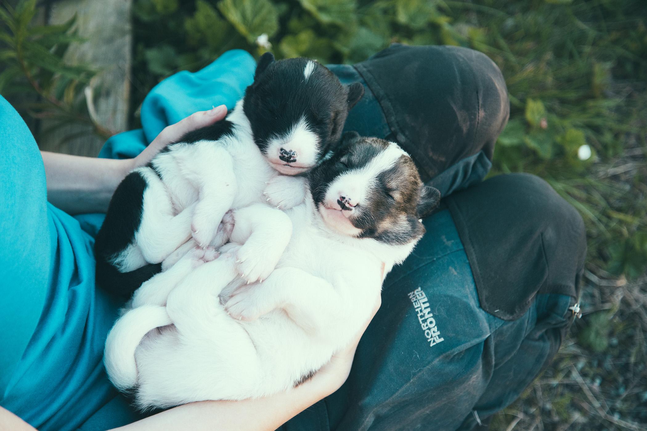 Puppies, Alaskan Huskies