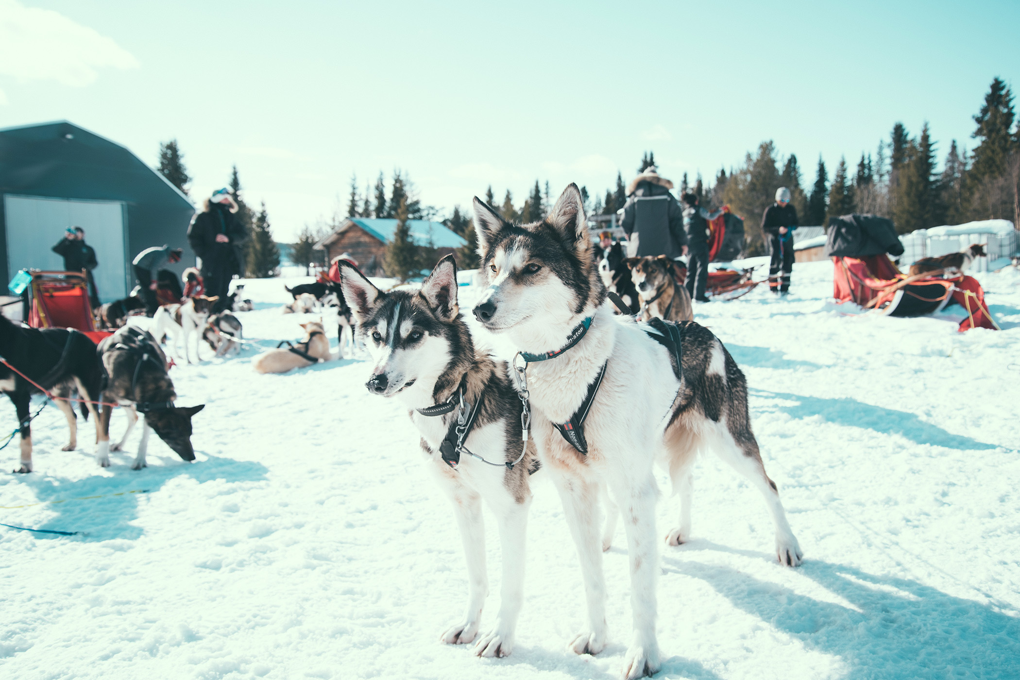 Alaskan Huskies on the trip
