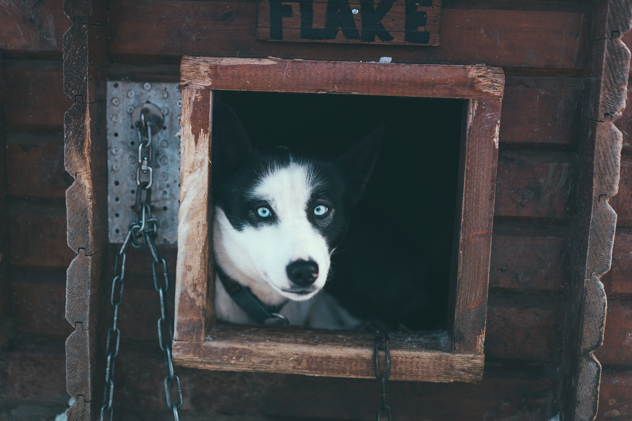 Silver, black and white alaskan husky with blue eyes looking out from dog house