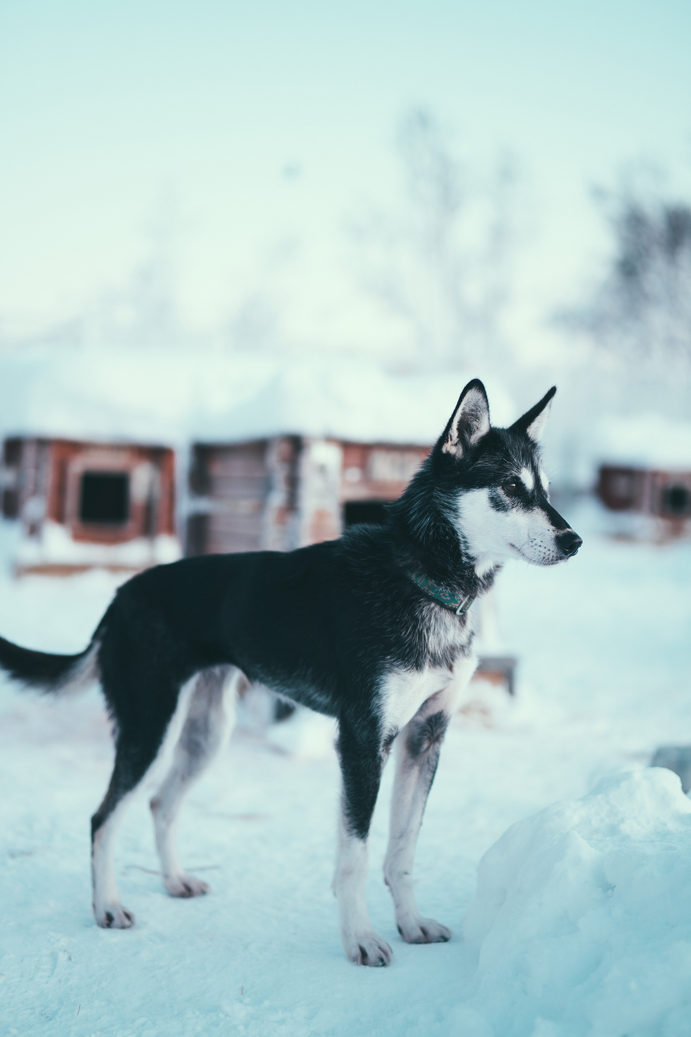 Alaskan Husky, the kennel, Arctic Adventure Tours, Tromsø