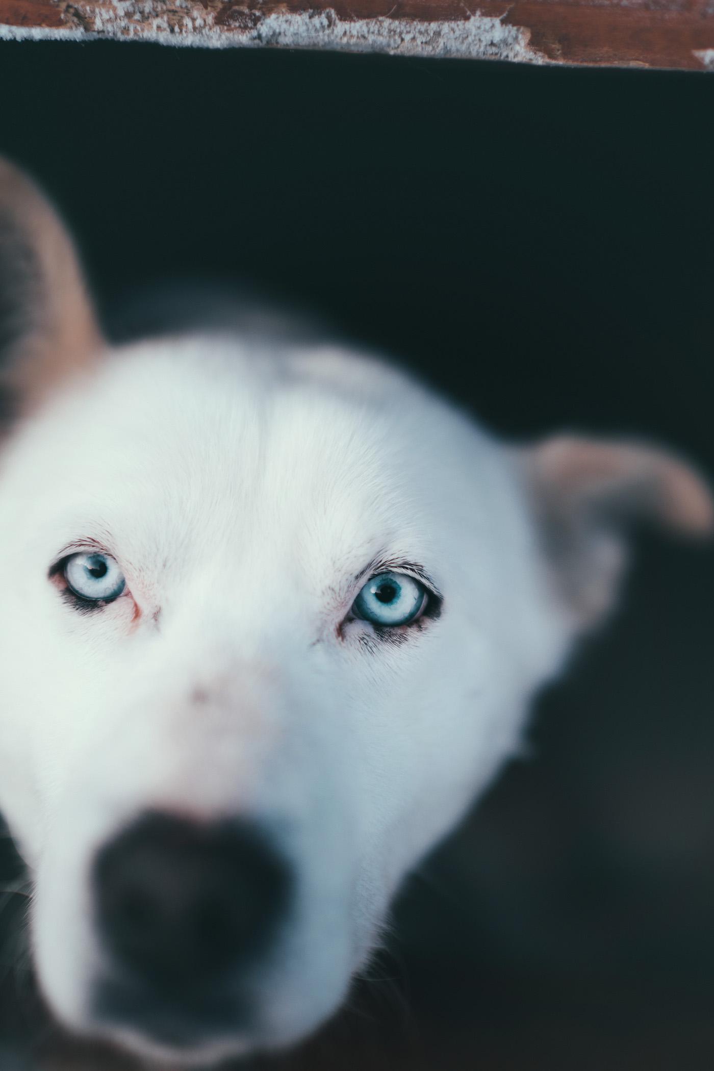 Alaskan Husky, Arctic Adventure Tours, Tromsø