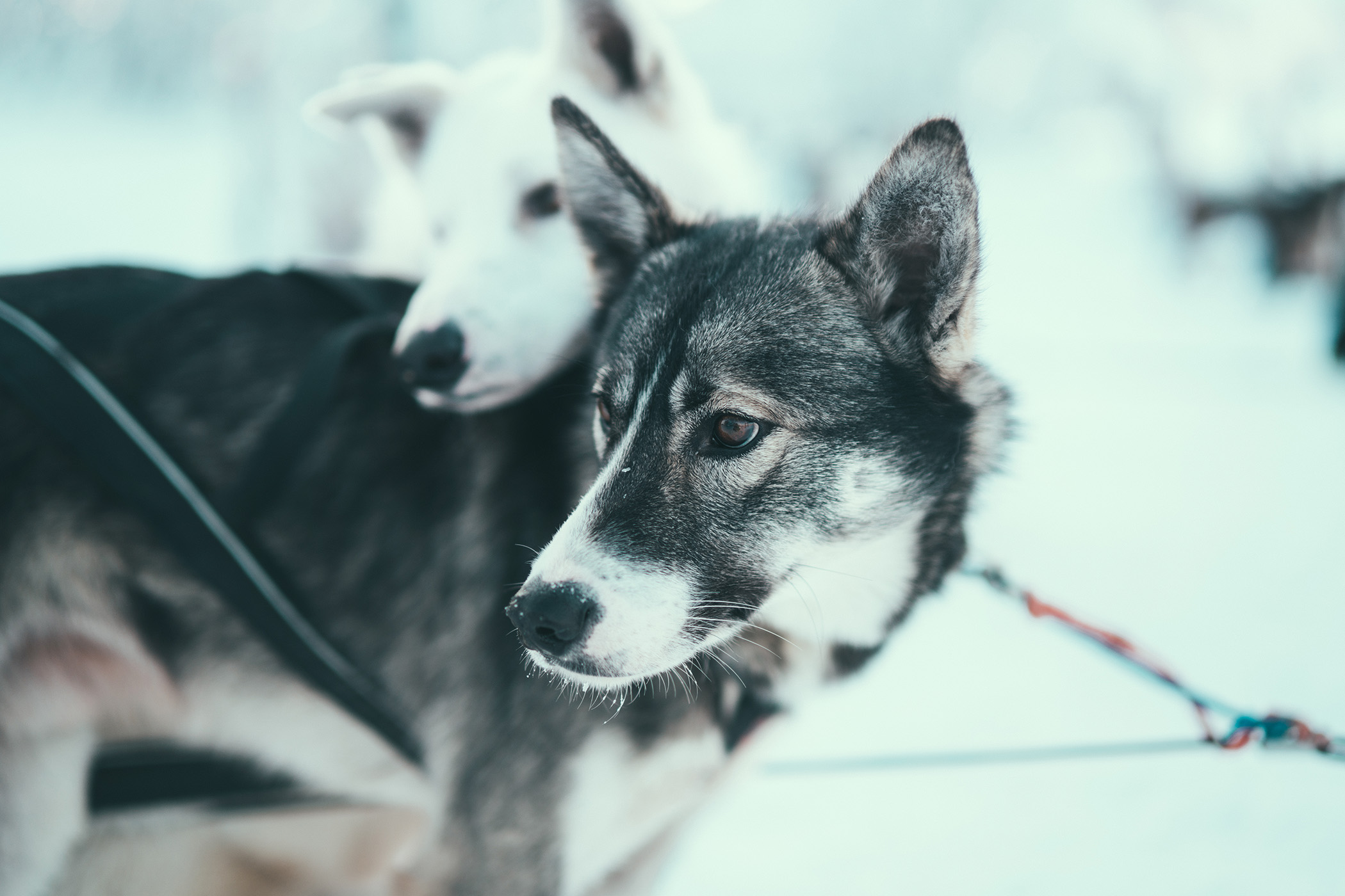 Alaskan Huskies ready to run, Arctic Adventure Tours, Tromsø