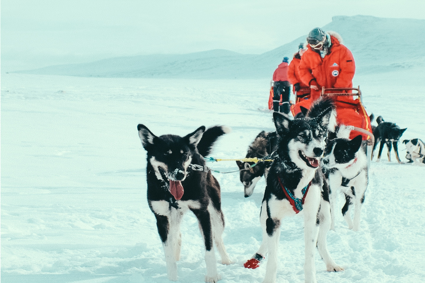 two leader huskies in dog sledding team with musher in red jacket driving