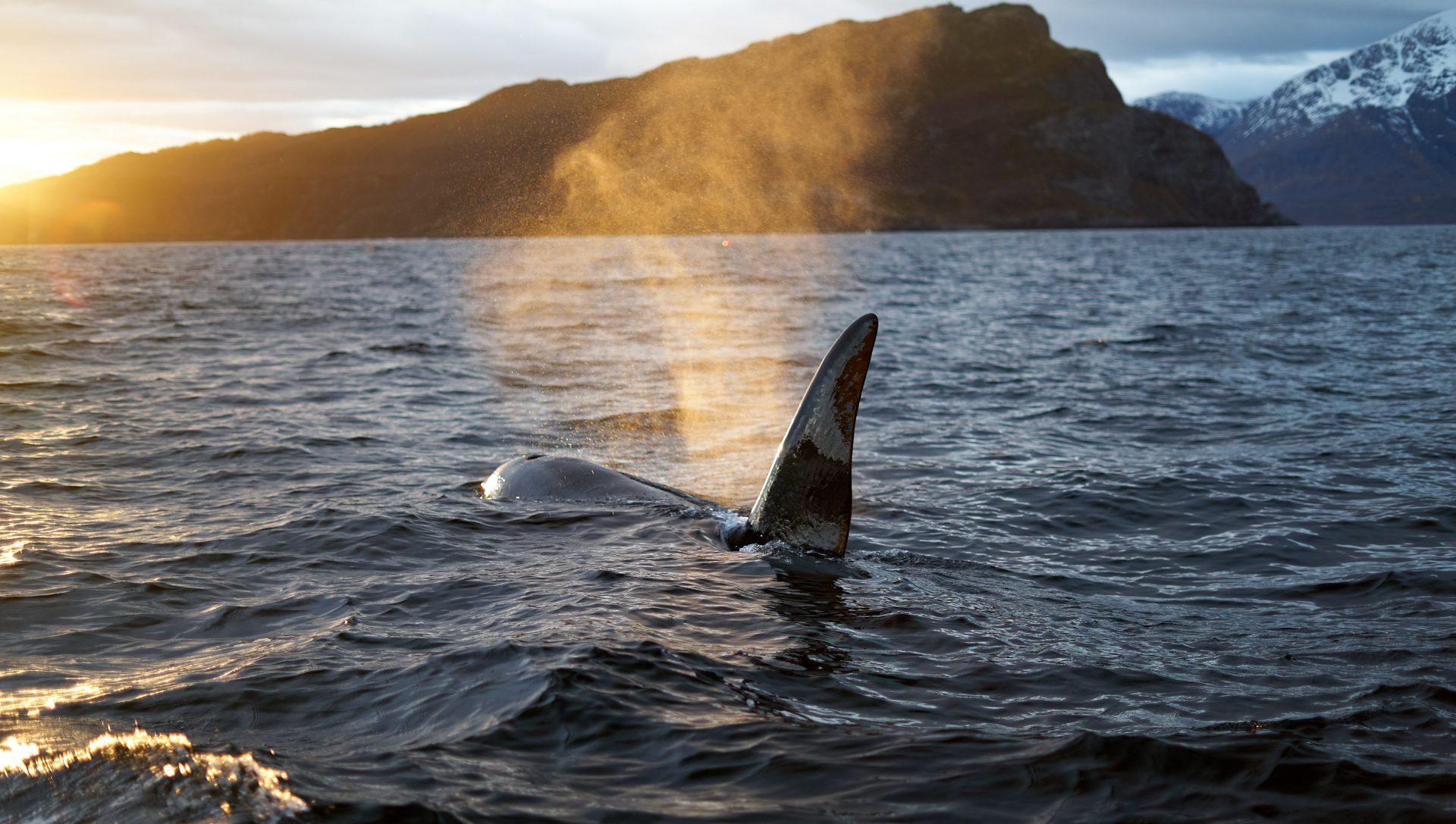 Whale watching, Skjervøy