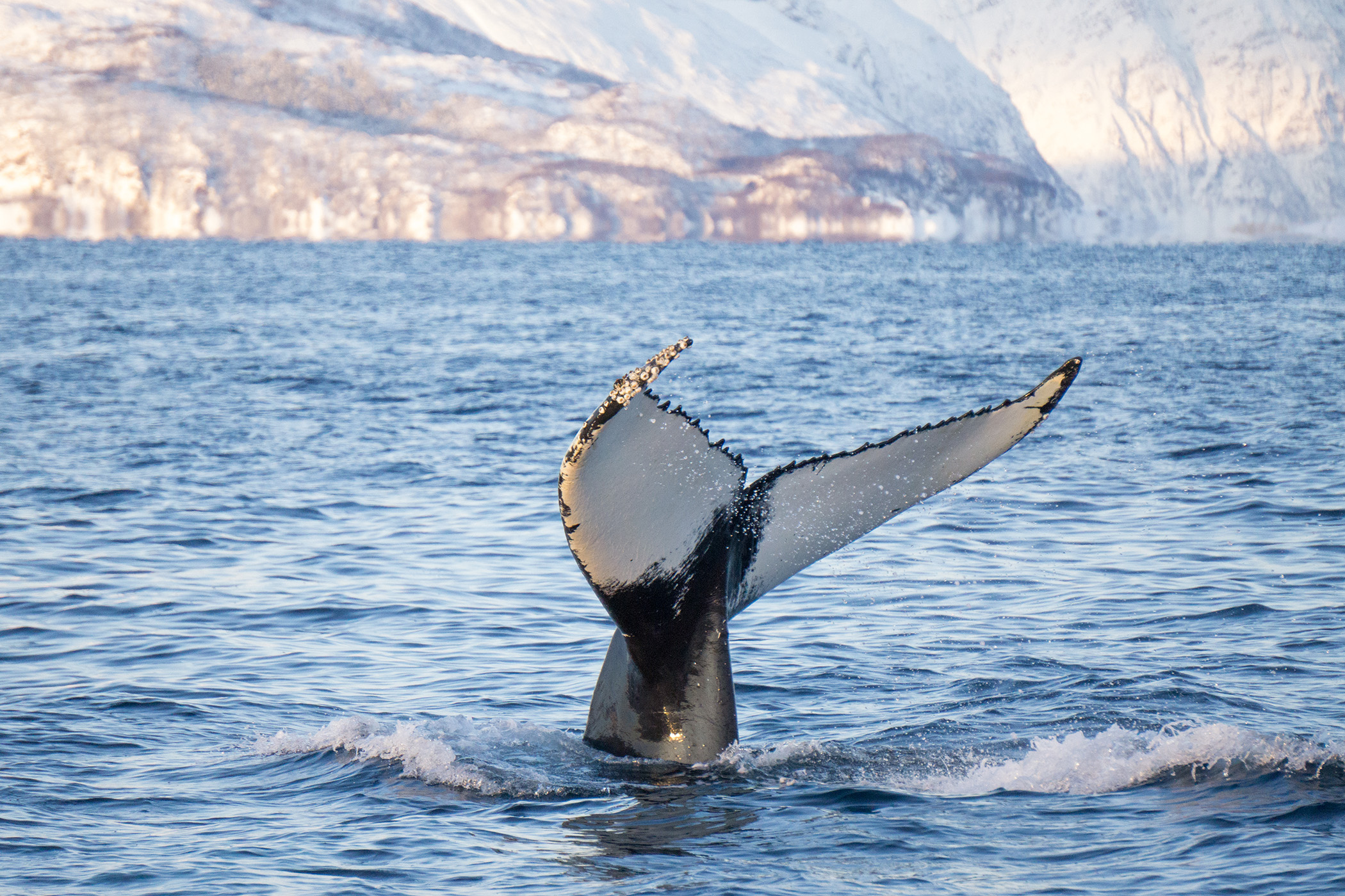 Humpback fin in Tromso