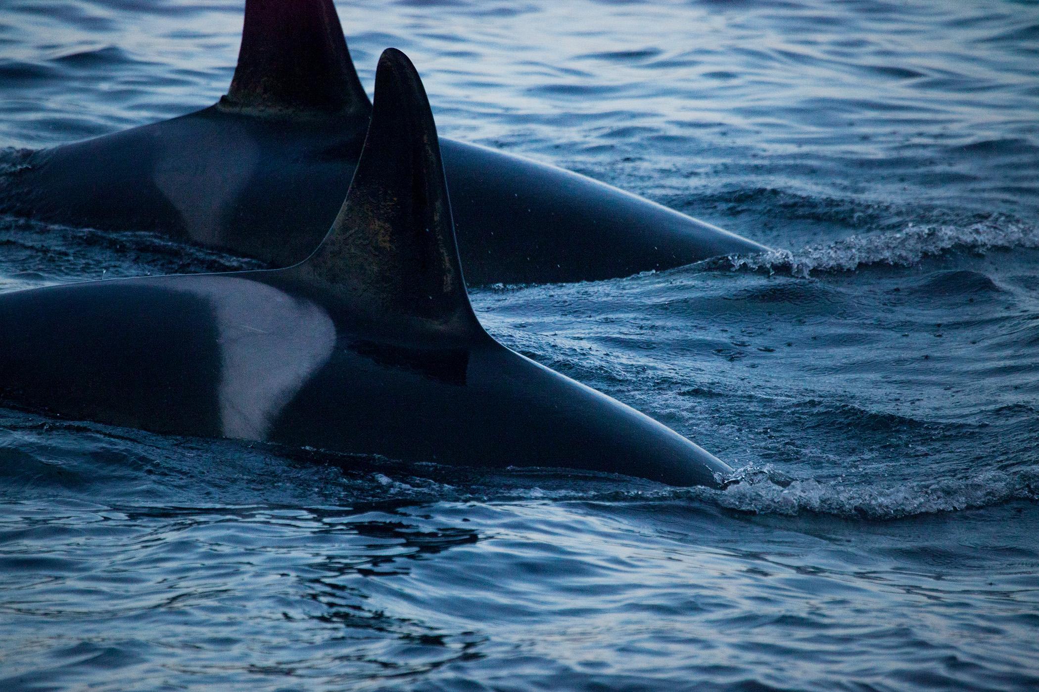 Whales, Skjervøy