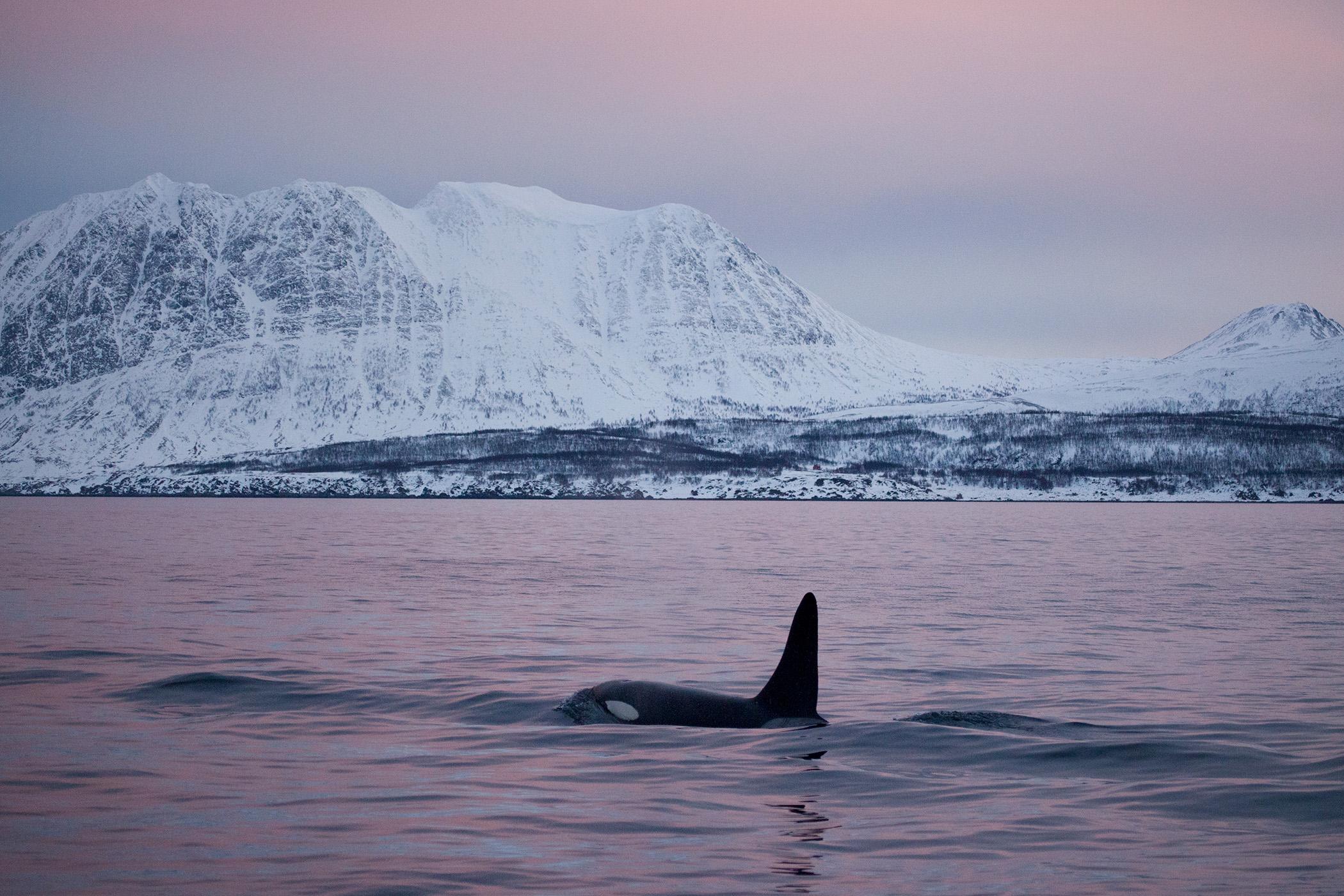 Killer whale, Skjervøy