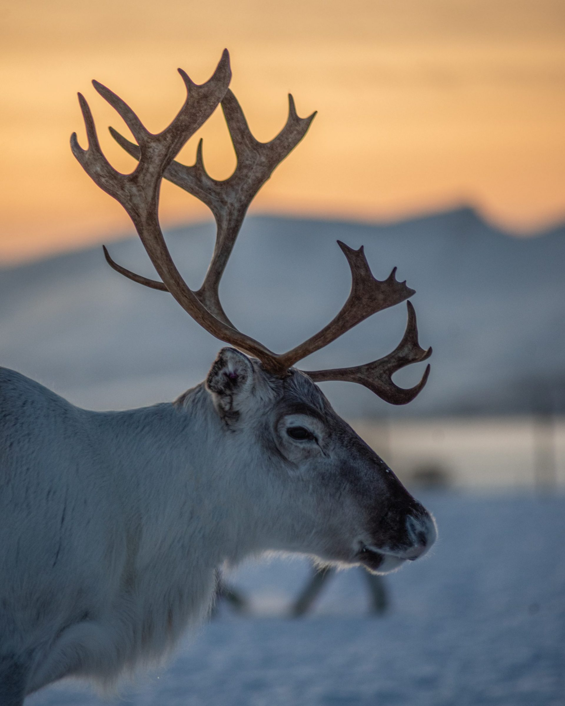 large male reindeer with sunset background Tromso Norway