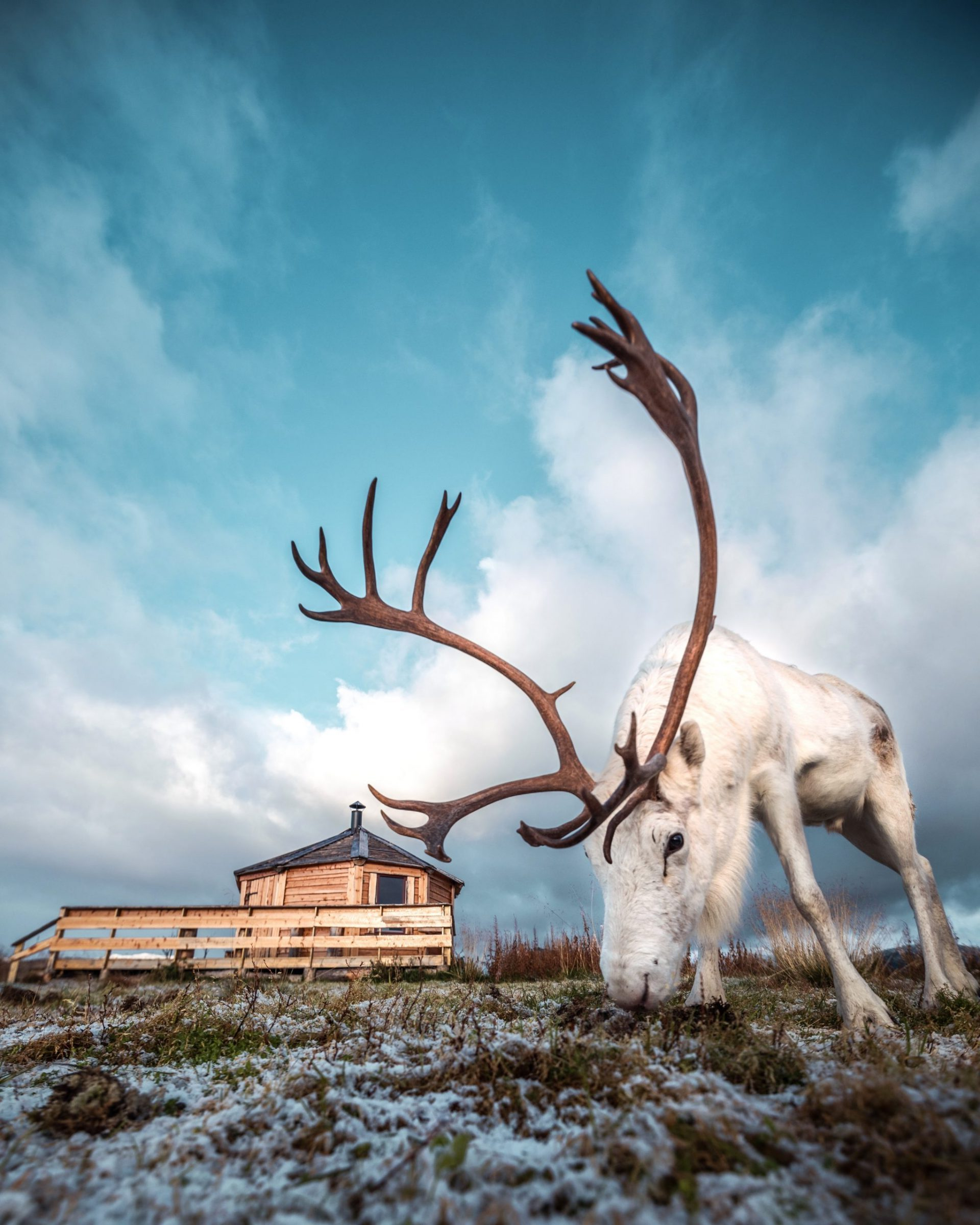 large white male reindeer grazing outside sami wooden cabin in Tromso