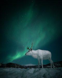 white reindeer under the northern lights in Tromso Norway
