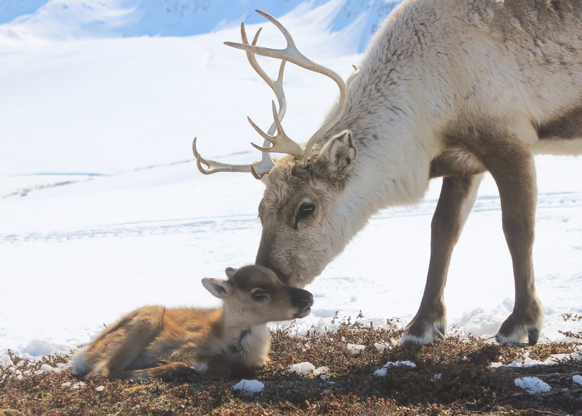 baby reindeer lying down with mother in Tromso Norway