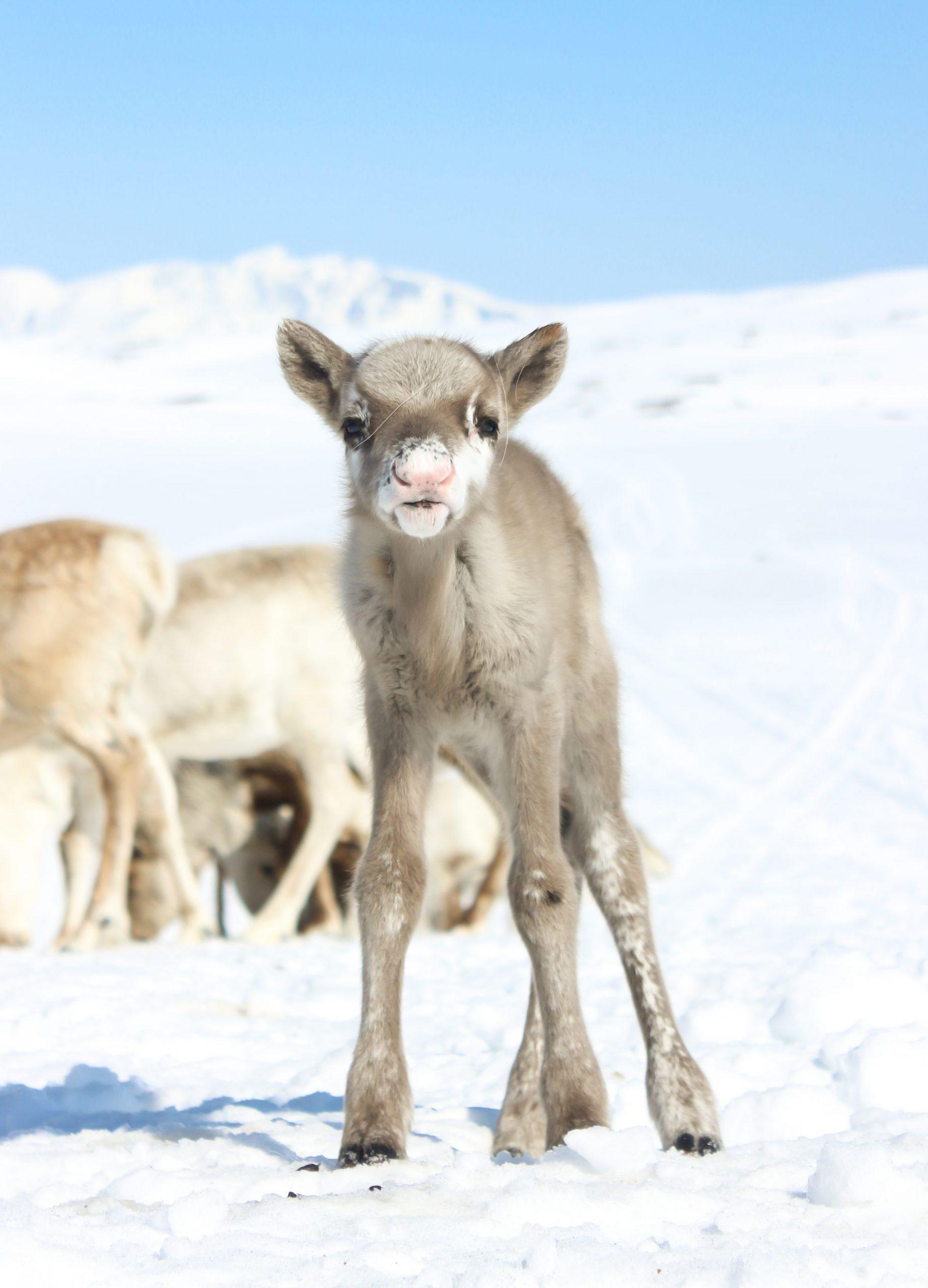 baby reindeer standing in the snow