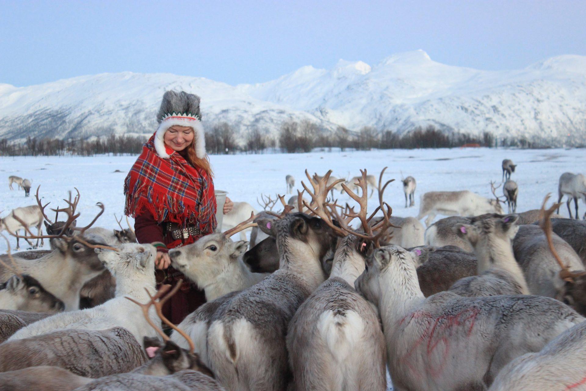 sami woman in traditional clothing feeding herd of reindeer