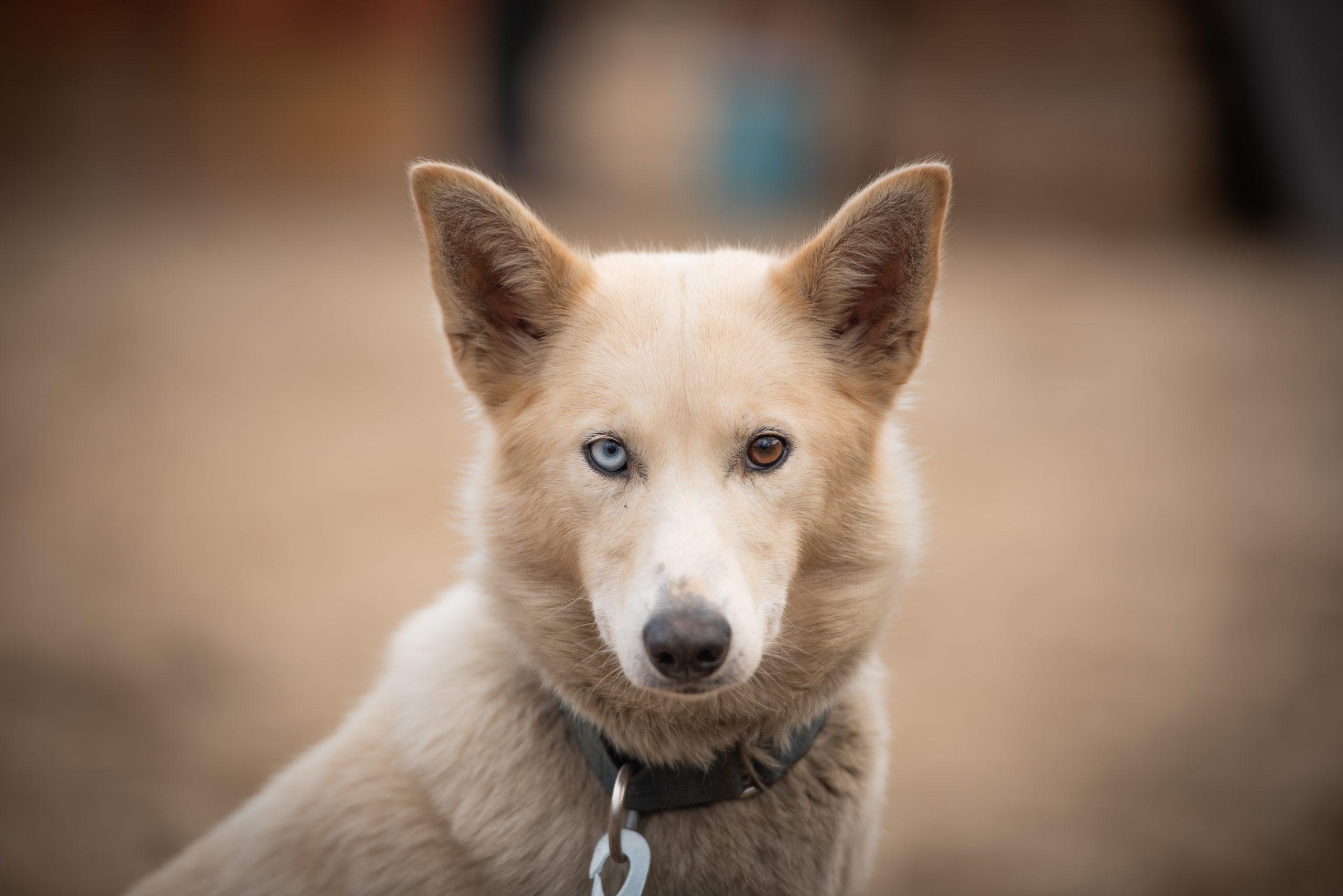 bi-eyed white husky