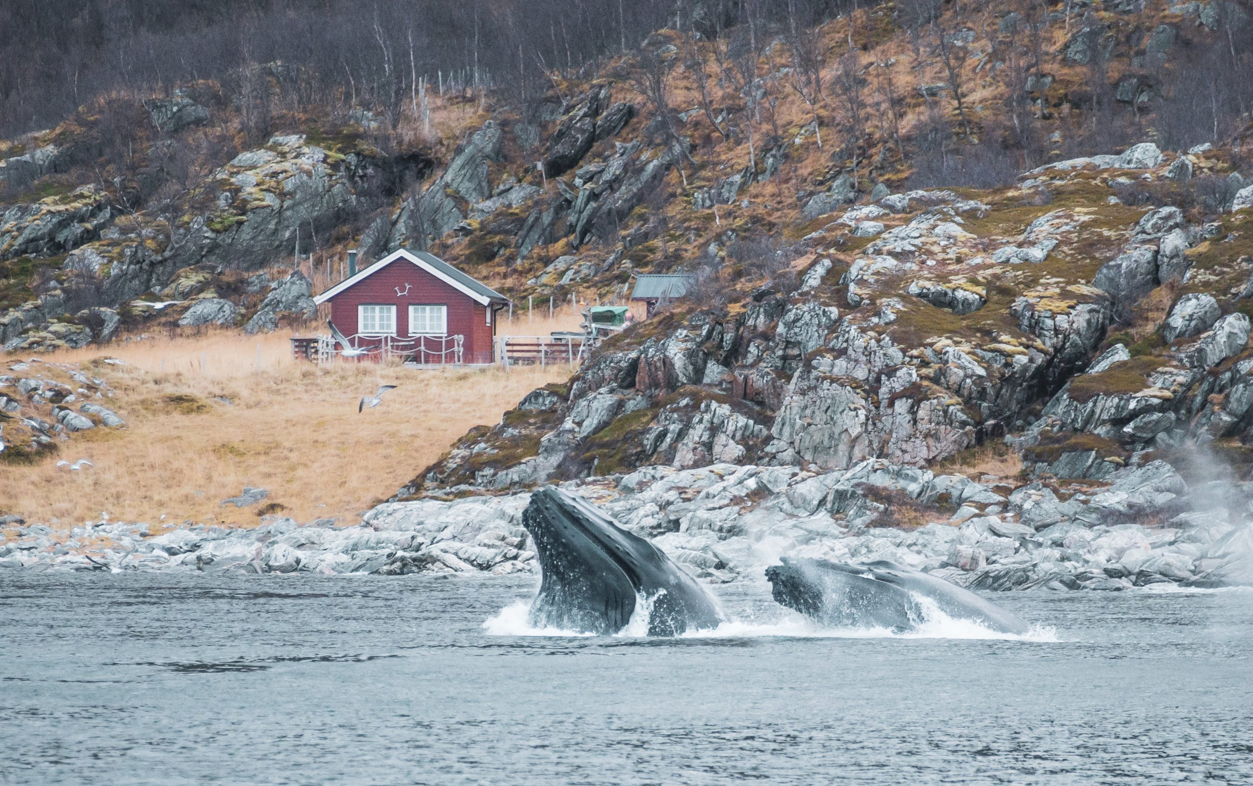 humpback whales feeding in front of norwegian cabin