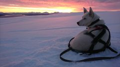Retired husky Mojito on an adventure in the sunset