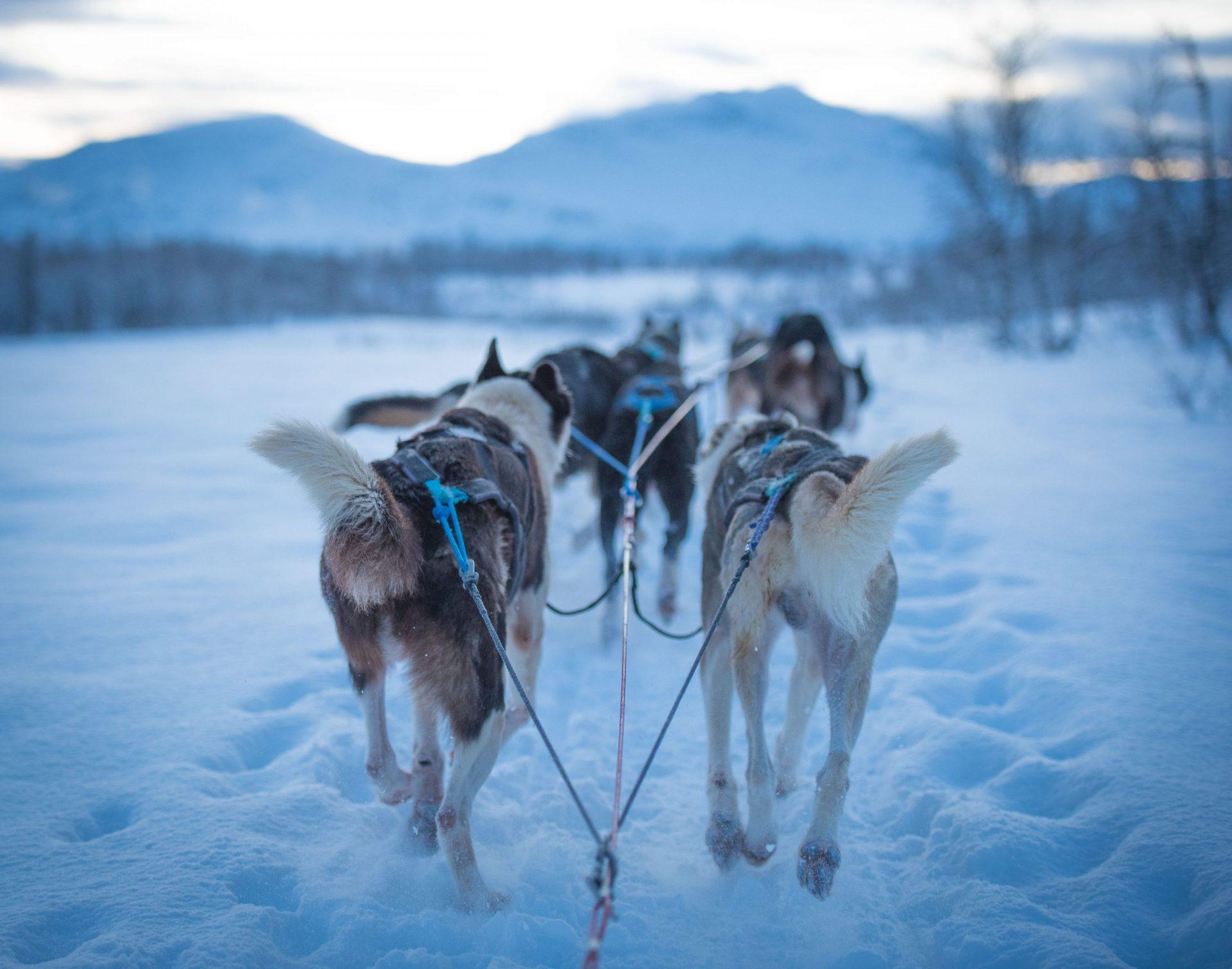 team of six huskies running