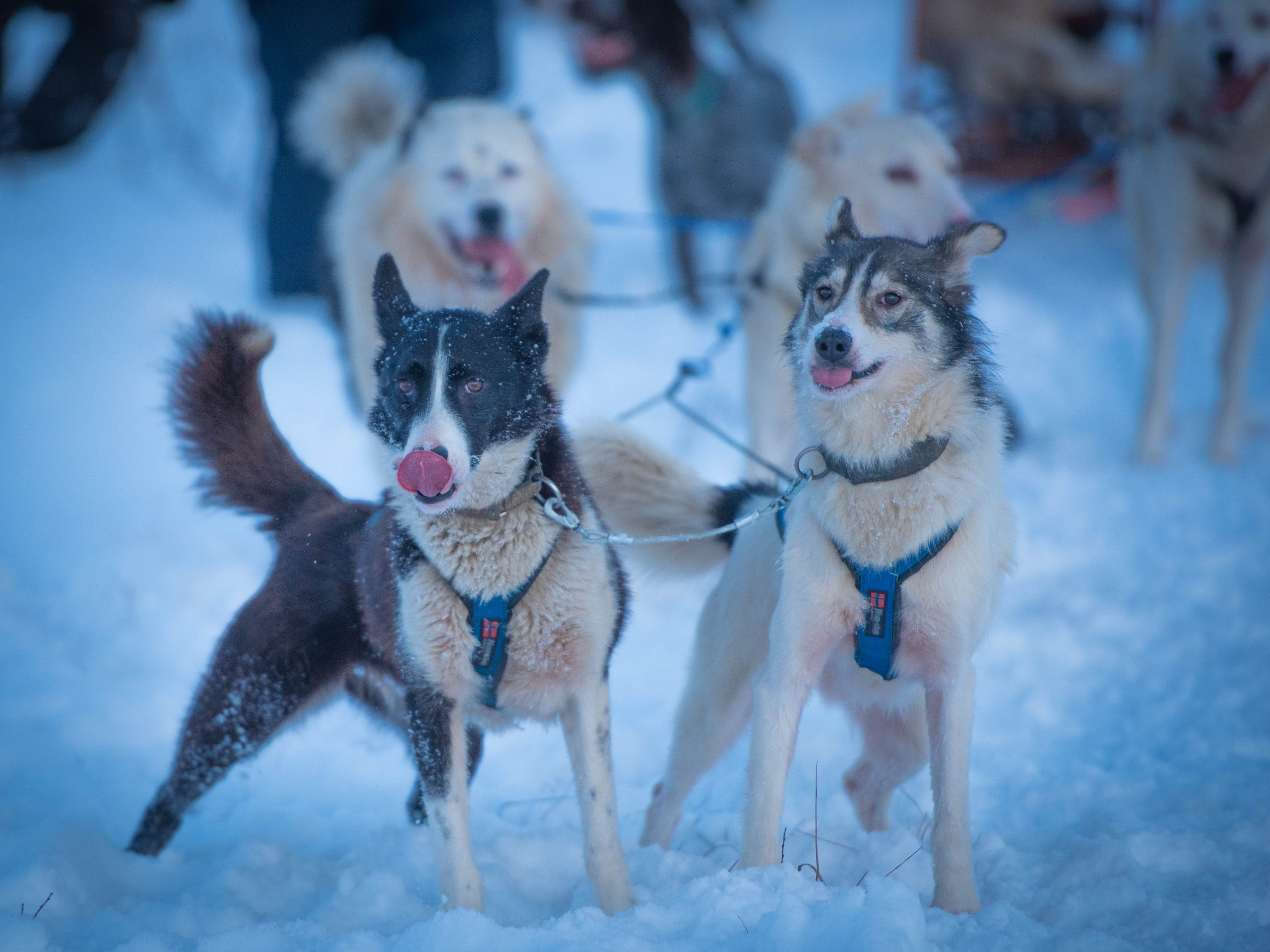 lead dogs rhino and bea with tongues out pulling dog sled