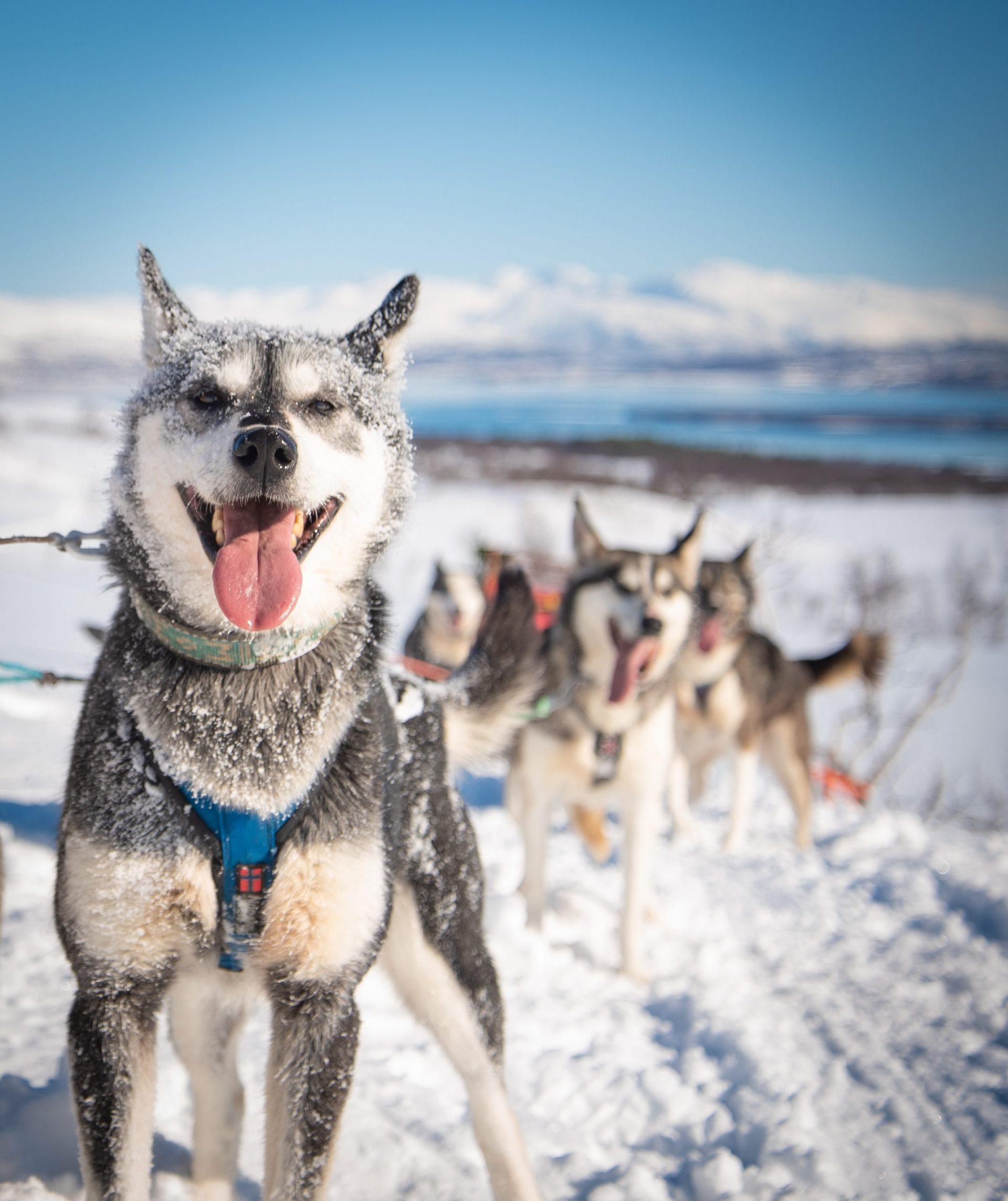 Kari the husky covered in snow