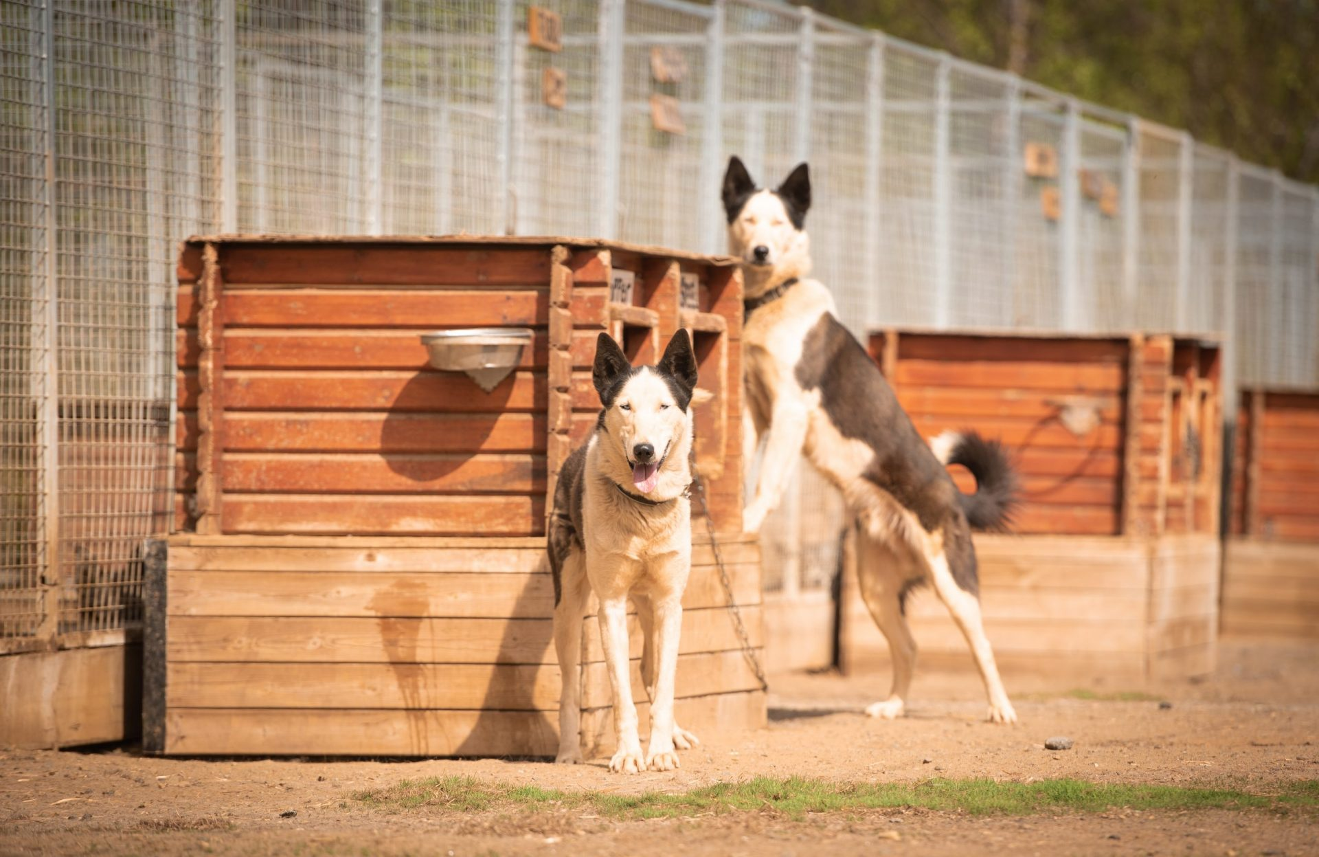 black and white alaskan huskies Steel and Cooper standing by wooden dog house