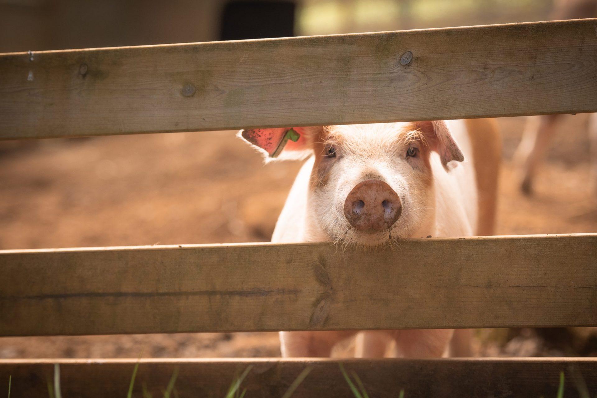 happy pig portrait at open kennel summer activities in tromso