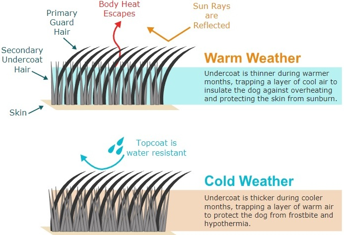 diagram of a double coat in alaskan husky staying warm in winter and cool in summer